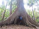 45 - 1000-Year-Old Samauma Tree, Floresta Nacional do Tapajos