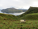 29 - Sheep Roaming, Isle of Skye