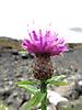 34 - Flowers of Isle of Skye
