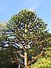 12 - Monkey Tree, Pucon