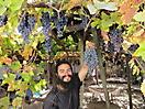 16 - Picking Grapes, Pelequen