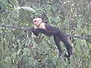 2 - Capuchin Monkey, Parque Nacional Manuel Antonio