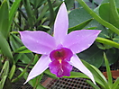 8 - Costa Rican Orchids
