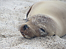 17 - Resting Sea Lion, San Cristobal, Galapagos
