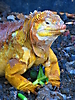 6 - Land Iguana, Santa Cruz, Galapagos