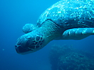 9 - Marine Turtle, Galapagos