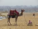 30 - Camel at the Pyramids of Giza, Cairo