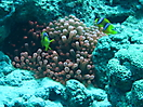 44 - Clown Fish in Anemone, Dahab