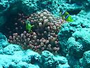 44 - Clown Fish in Anemone, Dahab