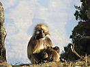 30 - Gelada Monkey, Simien Mountains National Park