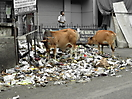 20 - Holy Cows Eating Trash