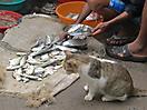 42 - Kitty Wants Fresh Fish, Fort Cochin