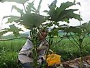 5 - Harvesting Okra, Ichijima