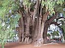 19 - El Tule Tree, near Oaxaca
