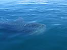 52 - Whale Shark, La Paz