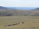 8 - Przewalski Wild Horses in Khustain National Park, Ulaanbaatar