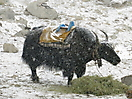 31 - Yak in the Snow, Gorak Shep, Everest Base Camp Trek