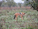 31 - What Does the Fox (Jackal) Say, Kruger National Park