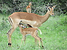 42 - Mom and Baby Impala, Kruger National Park