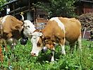 10 - Swiss Cows