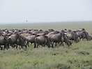 27 - Wildebeest Migrating South, Serengeti National Park