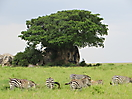 28 - Zebra with Ficus Tree in the Background, Serengeti National Park