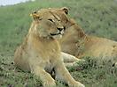 29 - Lioness, Serengeti National Park