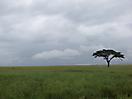 32 - Umbrella Tree in the Endless Savanna, Serengeti National Park