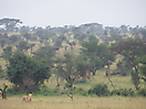 33 - Lioness Ready to Hunt Giraffe, Serengeti National Park