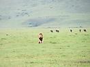 40 - Resting Lion, Ngorongoro Conservation Area