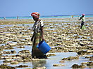 6 - Women Catching Sea Creatures at Low Tide, Nungwi, Zanzibar