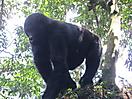 2 - Mountain Gorilla in Bwindi Impenetrable National Park