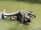 4 - Water Buffalo, Mekong Delta
